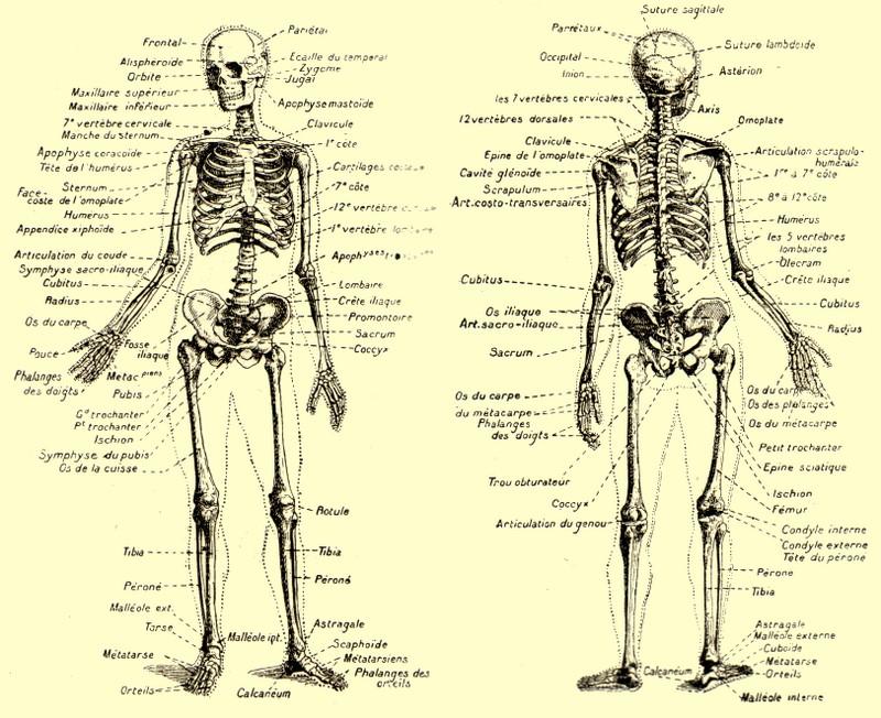 Os du corps humain for Interieur du corps humain photo